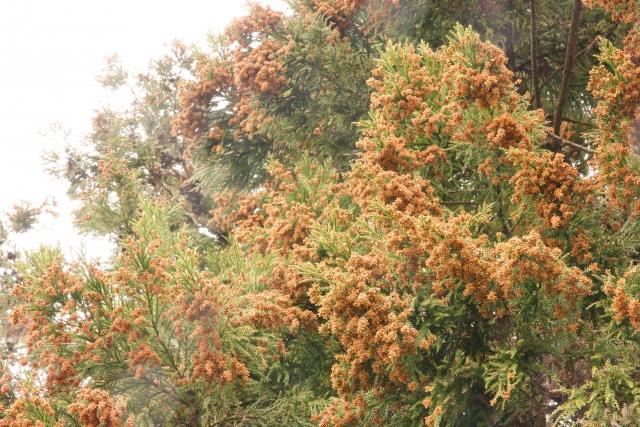 花粉症の薬はいつから飲む?予防に向いている薬は?2017年花粉飛散予測から解説