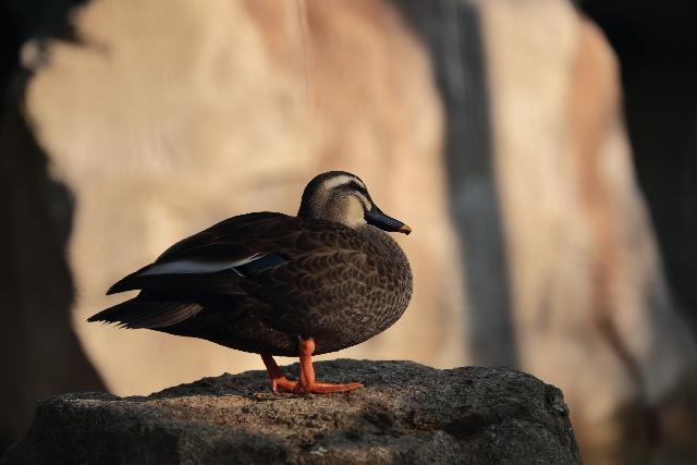 鳥インフルエンザとは?症状や感染経路・発生状況について